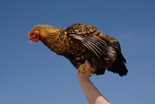 Gold Laced Wyandotte Chicken Hen Perched On Uplifted Arm
