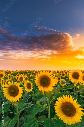 Fototapeta Sunflower field in sunset #2 obraz na płótnie