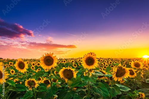 Foto auf Gartenposter Landschappen Sunflower field in sunset