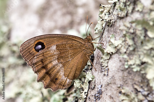 Fotografie, Obraz  Dryad (Minois dryas) is a butterfly of the Nymphalidae family