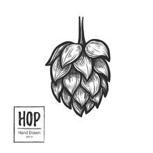 Hand Drawn Vector Illustration - Hop. Perfect For Malt, Ale, Lager Etc