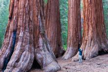 Sequoia Trees In Yosemite Nati...