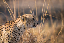 Side Profile Of A Cheetah In The Kruger.