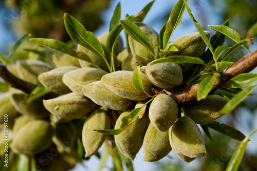 Fotomural Almond nuts on the branch in Provence, France