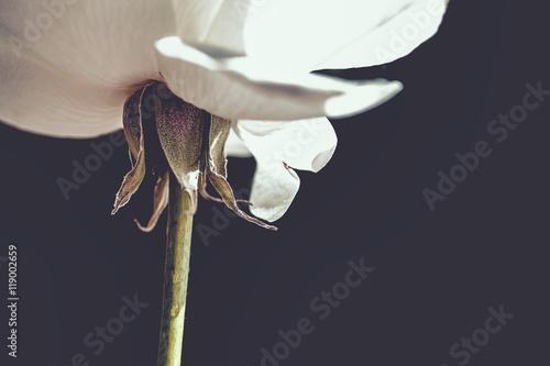 Photo  White Rose