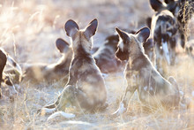 African Wild Dog Puppies