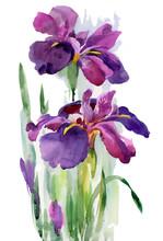 Watercolor Blooming Iris Flowers Illustration.