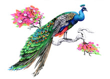 Watercolor Drawing Peacock On ...