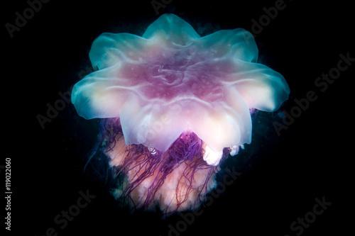 Cyanea jellyfish swims in the dark Wallpaper Mural