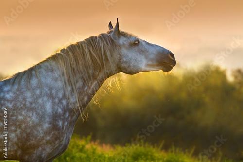 Photo  Grey horse with long mane portrait at sunset light