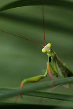 Praying Mantis On A Green Grass