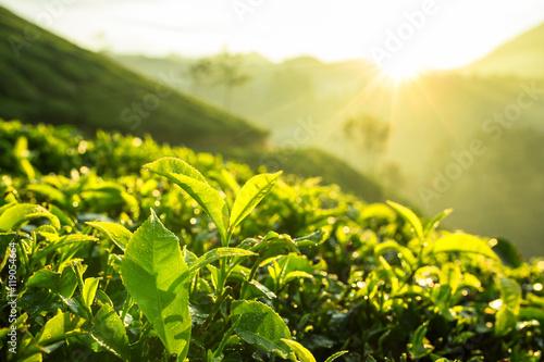 Poster Jaune Green tea bud and fresh leaves. Tea plantations in Munnar, Kerala, India