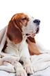 Beagle under blanket , isolated on white background