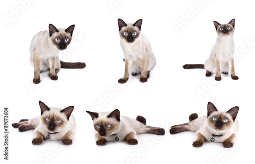 Fotografía  set of thai cat is a traditional or old-style siamese cat