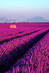 Panel Szklany Eko Lavender field at sunset in Provence, France