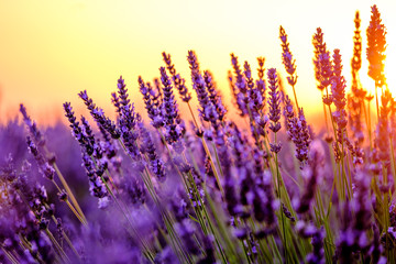 Blooming lavender in a field at sunset in Provence, France
