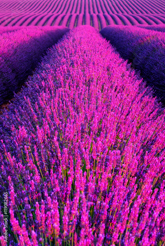 Lavender flower blooming scented fields in endless rows. Valensole plateau, provence, france, europe. - 119082665