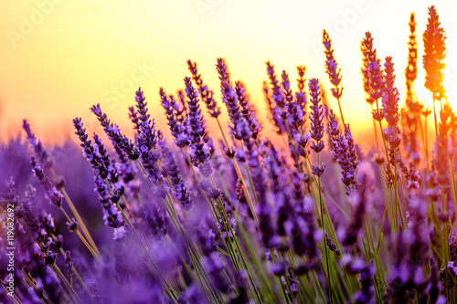 Tuinposter Lavendel Blooming lavender in a field at sunset in Provence, France