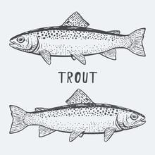 Trout Fish Vector Illustrtion
