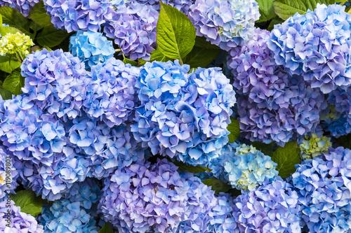 Wall Murals Hydrangea Closeup of blue hydrangea (Hydrangea macrophylla) in a garden.