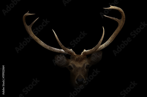 Wall Murals Deer elds deer in the dark