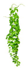 Panel Szklany Wino vine plants isolate on white background, Clipping path