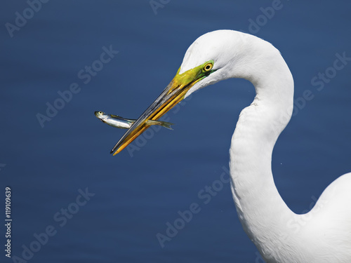 Αφίσα  Great Egret with Fish