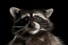 Closeup Portrait Of Funny Raccoon Curious Looks In Dark Isolated On Black Background, Front View, Low Key