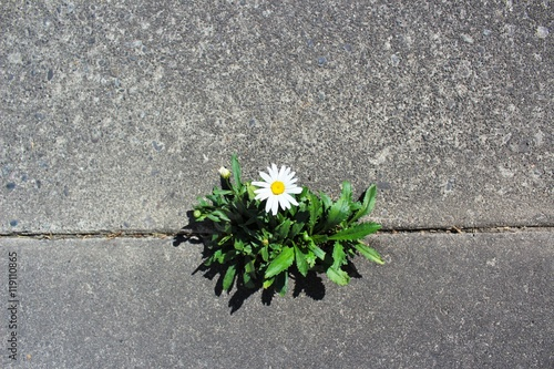 Photo  Beautiful and tough daisy grows in a crack in the pavement