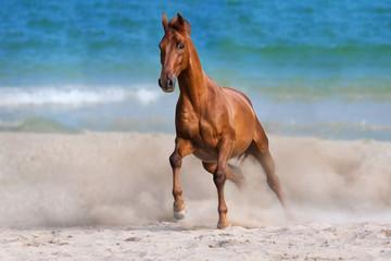 Horse  run gallop on seashore