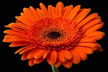 Orange Gerbera With Stem Isola...