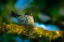Adult Hummingbird Sitting On T...