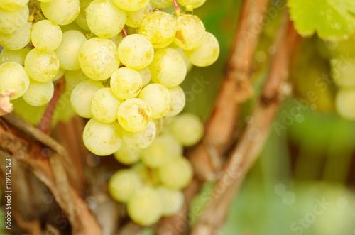 Fotobehang Wijngaard Green grapes on vine