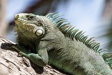 Green Iguana Lizard, Tropical ...
