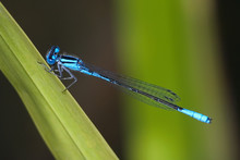 Damselfly, Azure Bluet