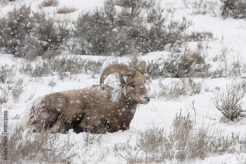 Photo  Bighorn Sheep