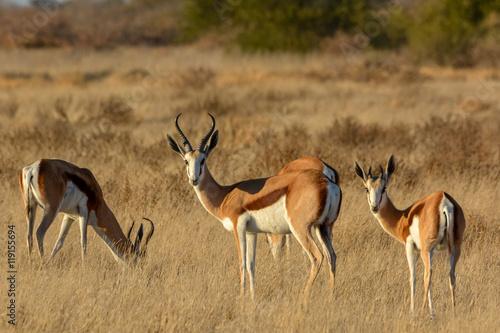 Foto op Aluminium Antilope Springbok (Antidorcas marsupialis) herd. Central Kalahari Game Reserve. Botswana