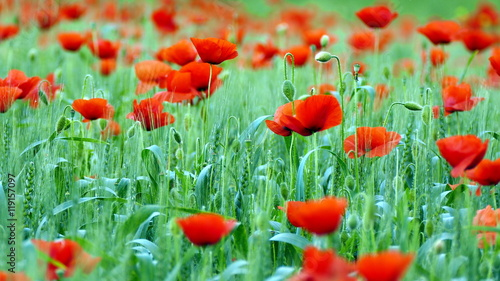 Photo  Field of red poppies