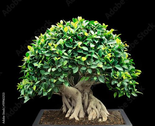 Aluminium Prints Bonsai Bonsai Tree