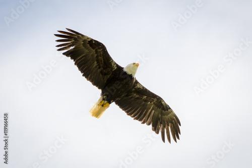 Garden Poster Eagle Bald Eagle Flying High