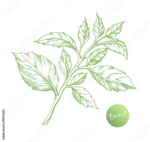 Obraz Vector basil hand draw - fototapety do salonu