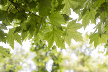 Green Maple Leaves On Nature