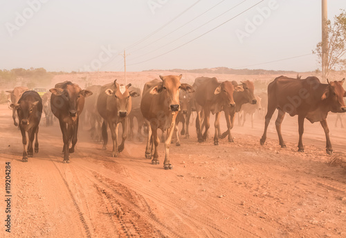 Spoed Foto op Canvas Marokko A herd of brown Cows back to cowshed in the evening