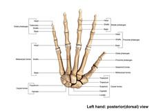 Left Hand Full Posterior(dorsal) View
