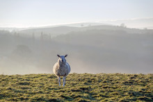 Sheep In Brecon Beacons