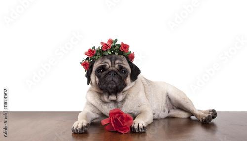 Poster Dog schattig mopshondje ligt als een model op tafel met gekruiste benen en haarband met rode rozen met witte achtergrond