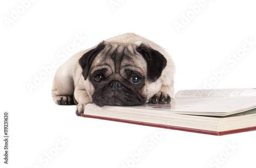 Poster Dog Hond, Mopshond, ligt op boek en kijkt triest