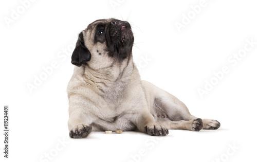 Poster Dog schattig mopshondje ligt en eet hondenkoekjes op witte achtergrond