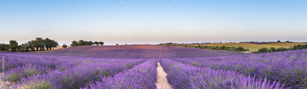 Fototapety, obrazy: Panorama of lavender field at sunset