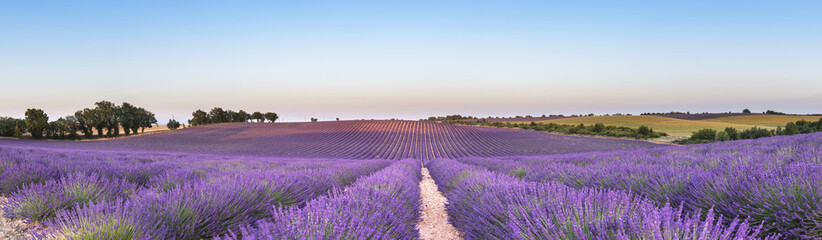 Panel SzklanyPanorama of lavender field at sunset